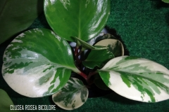 Clusea rosea bicolore légende (2)