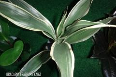 Dracaena fragrans kanzi légende
