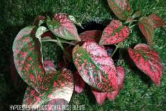Hypoestes phyllostachya rose bleuté légende