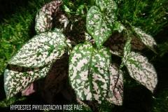 Hypoestes phyllostachya rose pâle légende