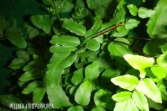 Pellaea atropurpurea légende
